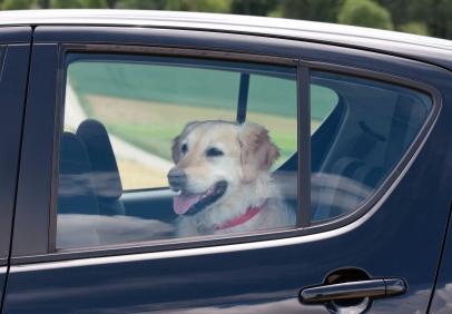 dog-in-backseat